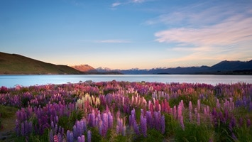 Field of lepus in front of Lake Tekapo, Mount Cook, South Island, New Zealand